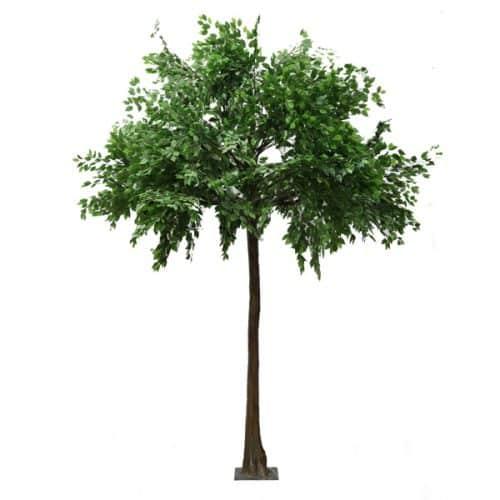 4m Ficus Tree