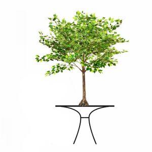 6ft Ficus Tree