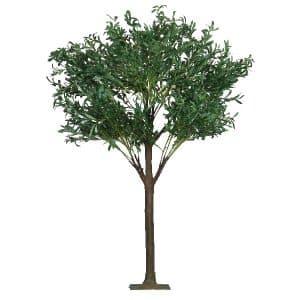 6ft Olive Tree