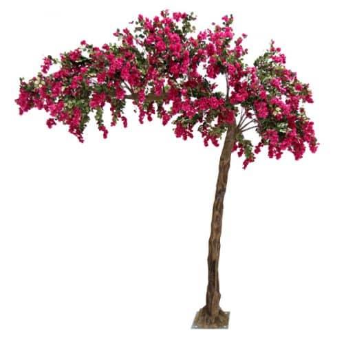 3.2m Canopy Bougainvillea Tree