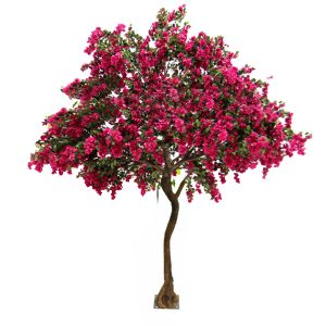 3m Bougainvillea Tree