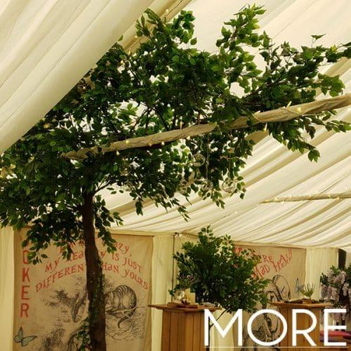 3.2m Canopy Ficus Tree