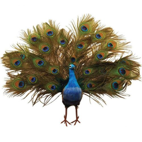 Peacock Small
