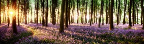 Bluebell Forest Backdrop