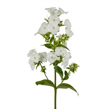 White Flower Sprig